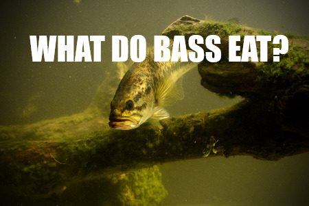 What Do Bass Eat An Underwater All You Can Eat Buffet